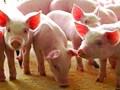 Giá lợn hơi hôm nay 21/6: Điều chỉnh tăng nhẹ tại một số nơi