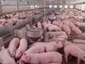 Giá lợn hơi hôm nay 15/10: Ghi nhận xu hướng giảm tại nhiều tỉnh thành