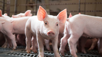 Giá lợn hơi hôm nay 20/6: Tiếp tục điều chỉnh trái chiều tại một số địa phương