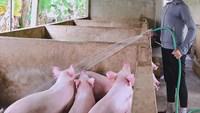 Giá lợn hơi hôm nay 14/10: Tăng giảm trái chiều trên toàn quốc