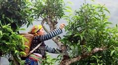 Chè Shan tuyết Na Hang có bảo hộ chỉ dẫn địa lý