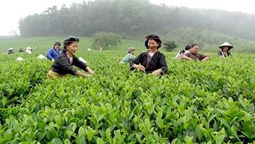Phong Hải danh trà - Tinh túy trà Việt