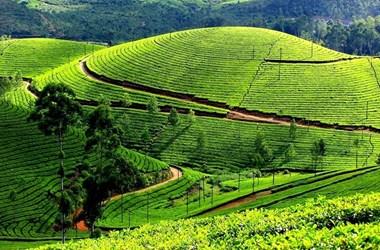 Quy trình trồng và chăm sóc cây chè Thái Nguyên