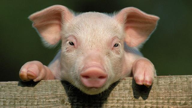 Giá lợn hơi hôm nay 24/7: Miền Trung giảm nhẹ 1.000 đ/kg