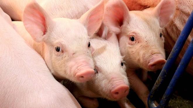 Giá lợn hơi hôm nay 21/9: Điều chỉnh nhẹ tại một số tỉnh thành