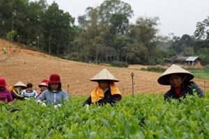 Thái Nguyên: Đẩy mạnh sản xuất chè vụ Đông nâng cao thu nhập ổn định cho người dân