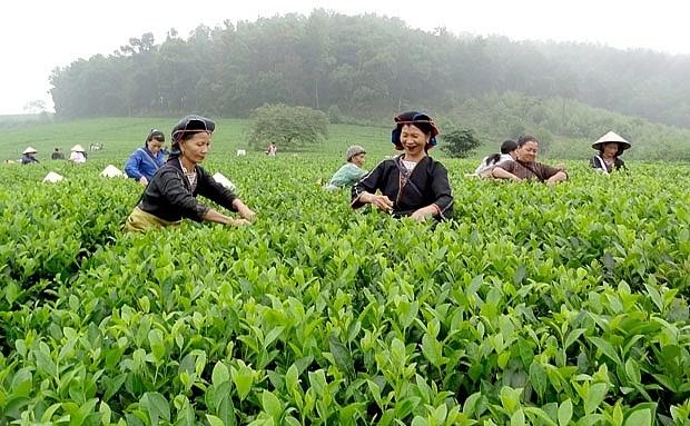 Lào Cai mở rộng diện tích trồng cây chè chất lượng cao