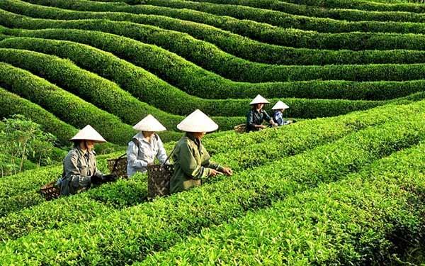 Công ty cổ phần Chè Mỹ Lâm (Yên Sơn) giao đất chè đến từng hộ gia đình