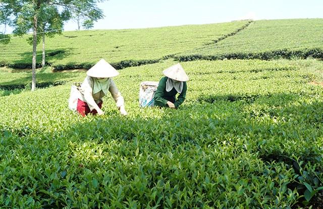 Để nâng cao giá trị của cây chè, huyện Văn Chấn tiếp tục vận động nhân dân tích cực đầu tư chăm sóc và áp dụng quy trình sản xuất theo tiêu chuẩn VietGAP, nhất là trong chăm sóc, thu hái và bảo quản sản phẩm chè búp tươi.