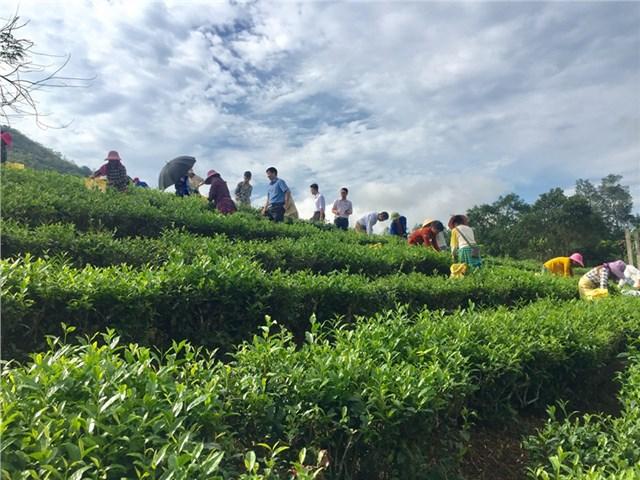 Là xã vùng thấp của huyện Mường Khương, Lùng Vai được thiên nhiên ưu đãi với khí hậu ôn hòa, phù hợp để cây chè sinh trưởng và phát triển tốt.