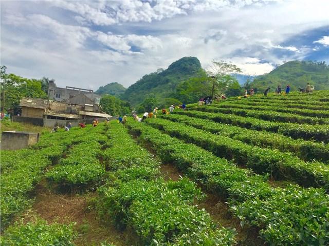 Với nguồn nguyên liệu ổn định, chất lượng cao, địa phương đã thu hút được các doanh nghiệp chế biến, tiêu thụ sản phẩm cho nông dân.