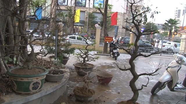 Số lượng cây mai cảnh bị trộm lớn, xảy ra nhiều địa phương, sau khi trộm được đối tượng đã cắt tỉa, thay đổi kiểu dáng cây nên khó tìm được bị hại.