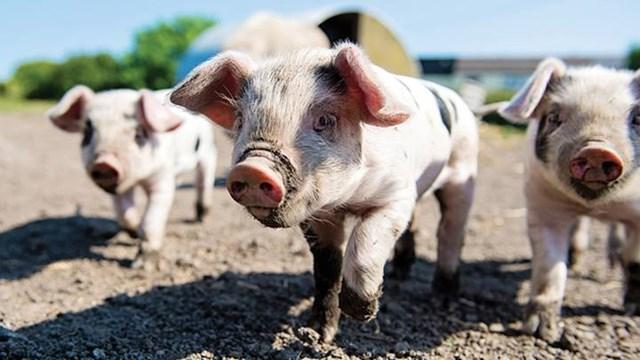 Giá lợn hơi hôm nay giảm 1.000 - 2.000 đồng/kg tại một số địa phương - Ảnh minh họa