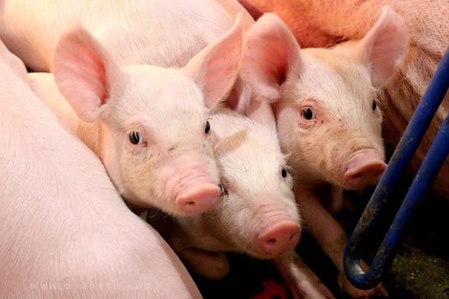 Hiện nay, giá lợn hơi được thu mua trong khoảng 47.000 - 52.000 đồng/kg - Ảnh minh họa.