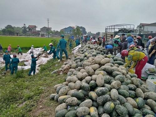 Hàng chục dân quân tự vệ cùng rất đông người dân giúp chủ xe thu gom dưa hấu bị đổ xuống ruộng.